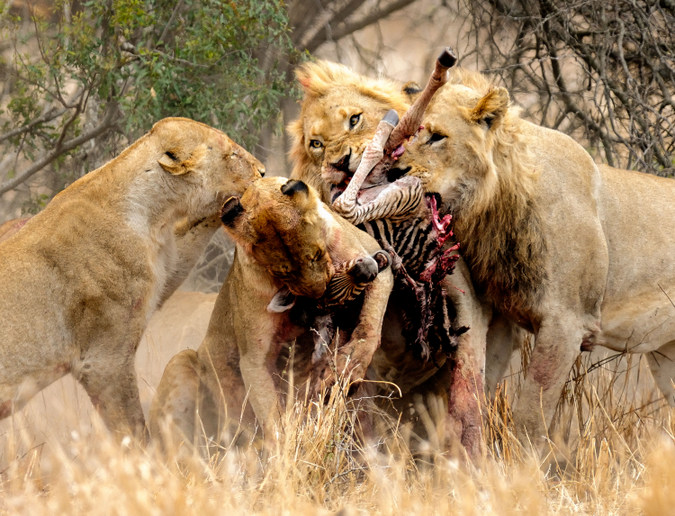 Four lions fighting over zebra carcass in Kruger National Park, South Africa, Africa wildlife photography