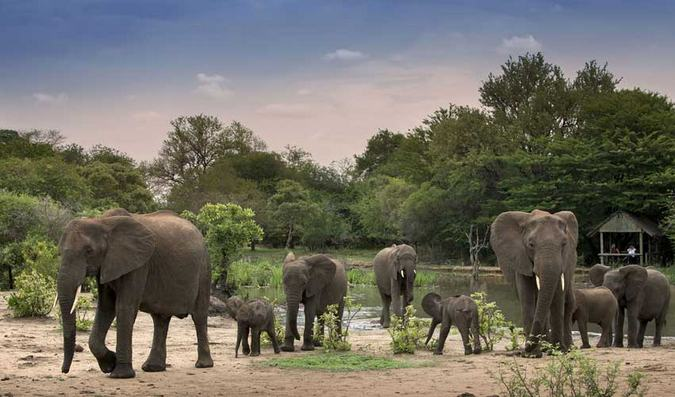 Elephant herd by waterhole at Tanda Tula, African wilderness