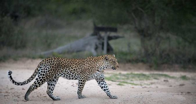 leopard walking at Tanda Tula, African wilderness