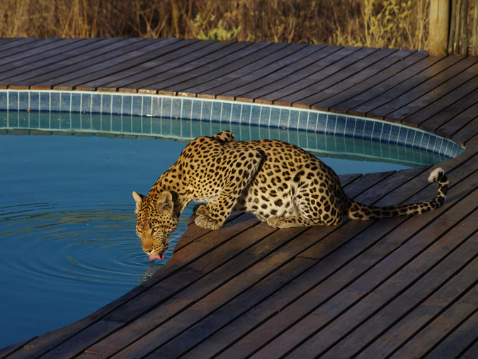 Leopard drinking from pool at Tau Pan Camp, Central Kalahari Game Reserve, Botswana