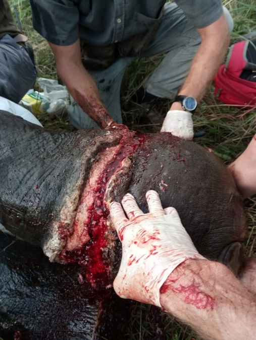 Treating snare wound on elephant's leg © Peace Parks Foundation