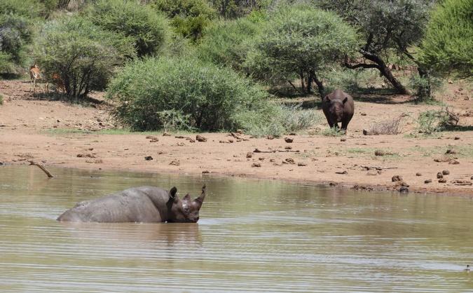 Two black rhino bulls at waterhole