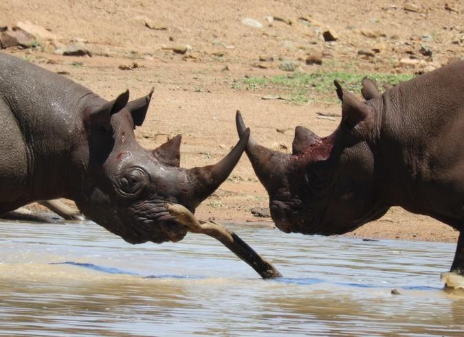 Two black rhinos facing eachother in waterhole
