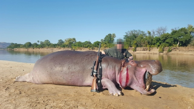 A hunter with a hippo carcass, trophy hunting hippos