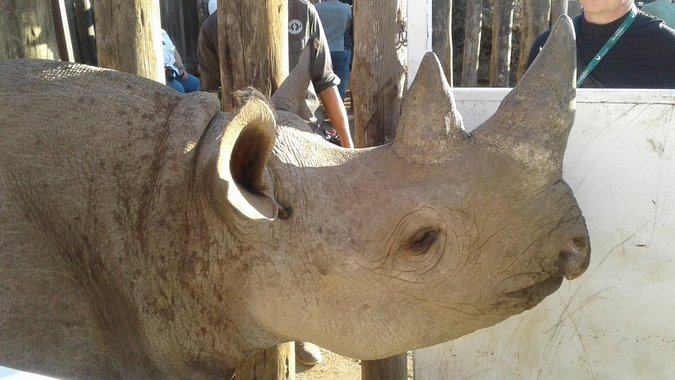 One of the black rhinos in the holding boma