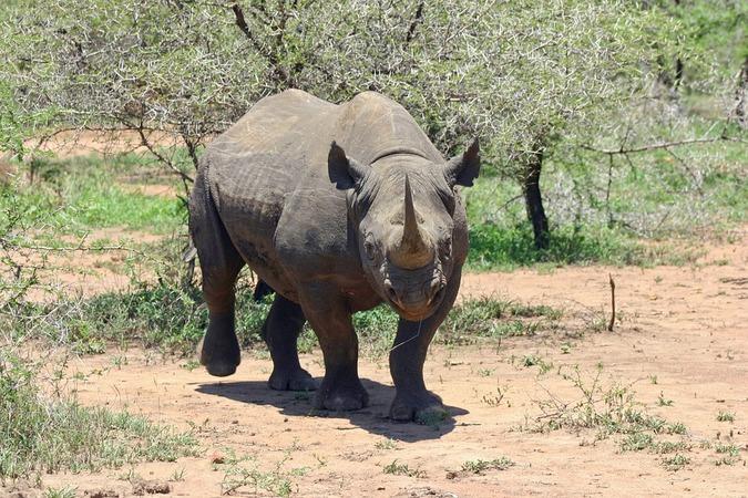 A black rhino (stock photo)