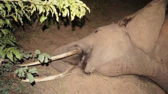 Dead elephant after poisoned with cyanide