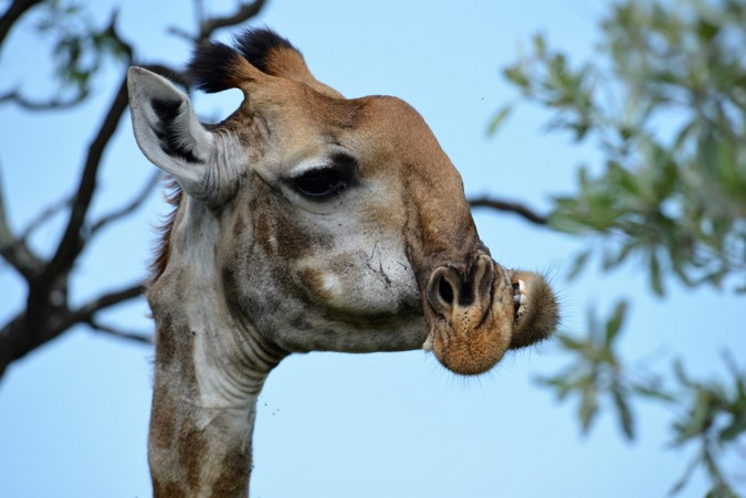 giraffe with deformed jaw in Kruger National Park, South Africa