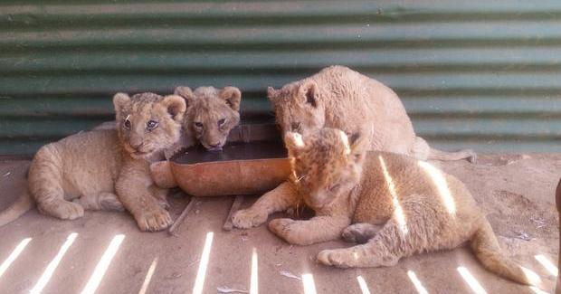 Lion cubs bred in captivity
