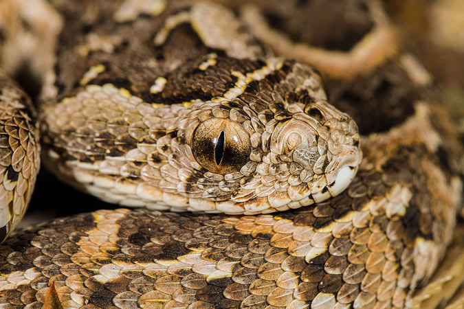 Puff adder, reptile, snakes of southern Africa