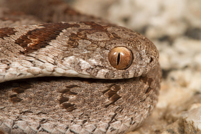 Rhombic egg eater, reptile, snake of southern Africa