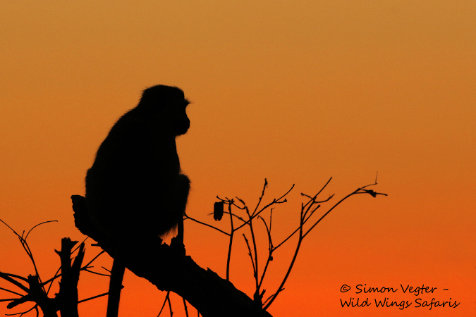 Primate in tree at sunset, South Africa
