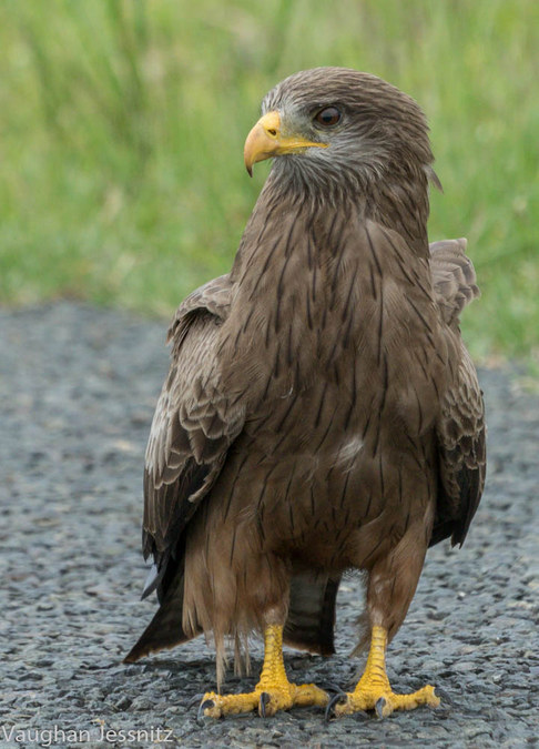 Yellow-billed kite, bird of prey, African migrant bird