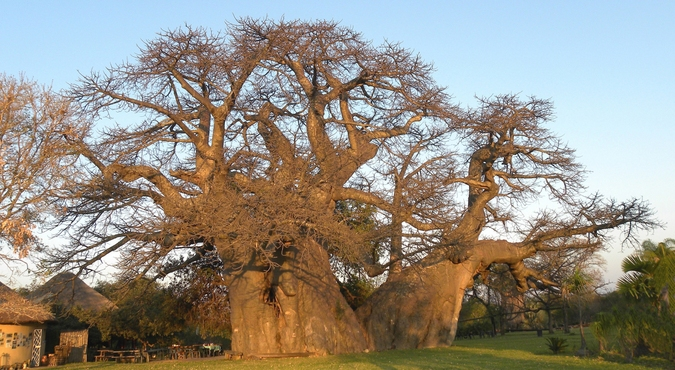 The Platland tree, baobab