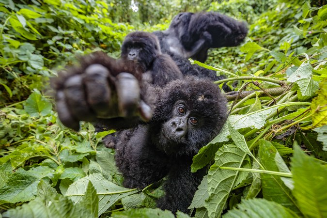 Young mountain gorilla juvenile reaching out in Virunga National Park, DRC