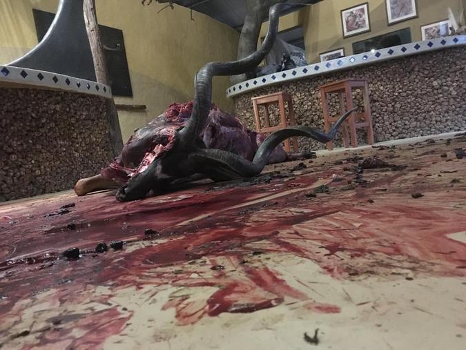 Dead kudu bull lying on floor in luxury camp