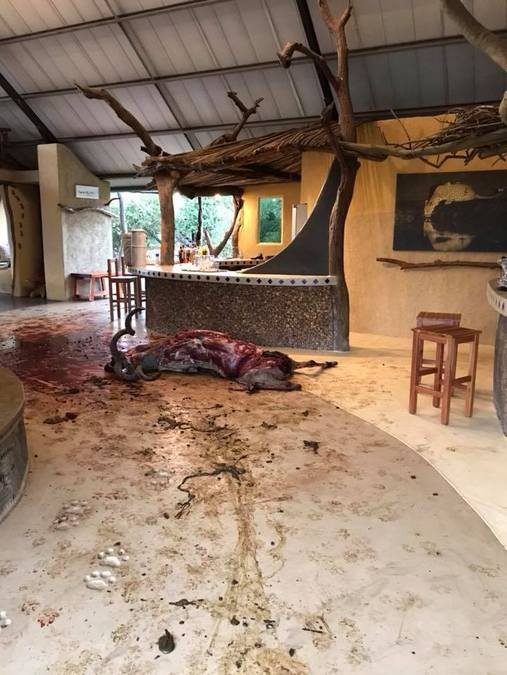 Dead kudu after being killed by hyenas in reception area of lodge, Mana Pools, Zimbabwe