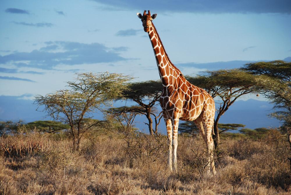 Reticulated giraffe in Samburu National Park, Kenya