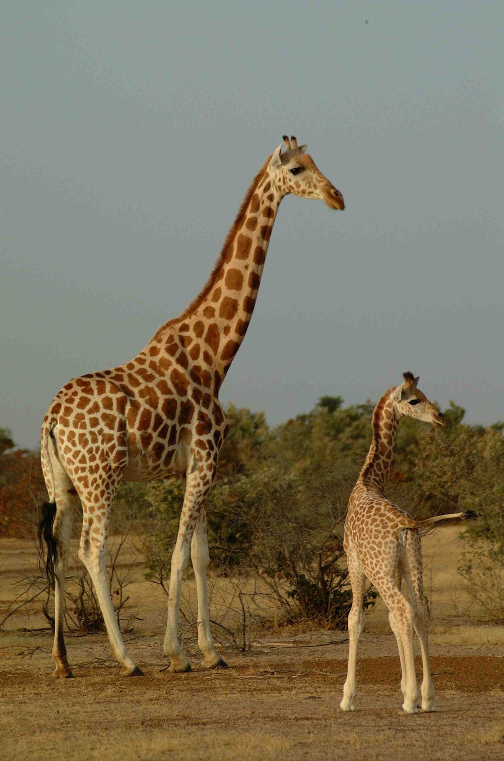 West African giraffe mum and calf in Niger