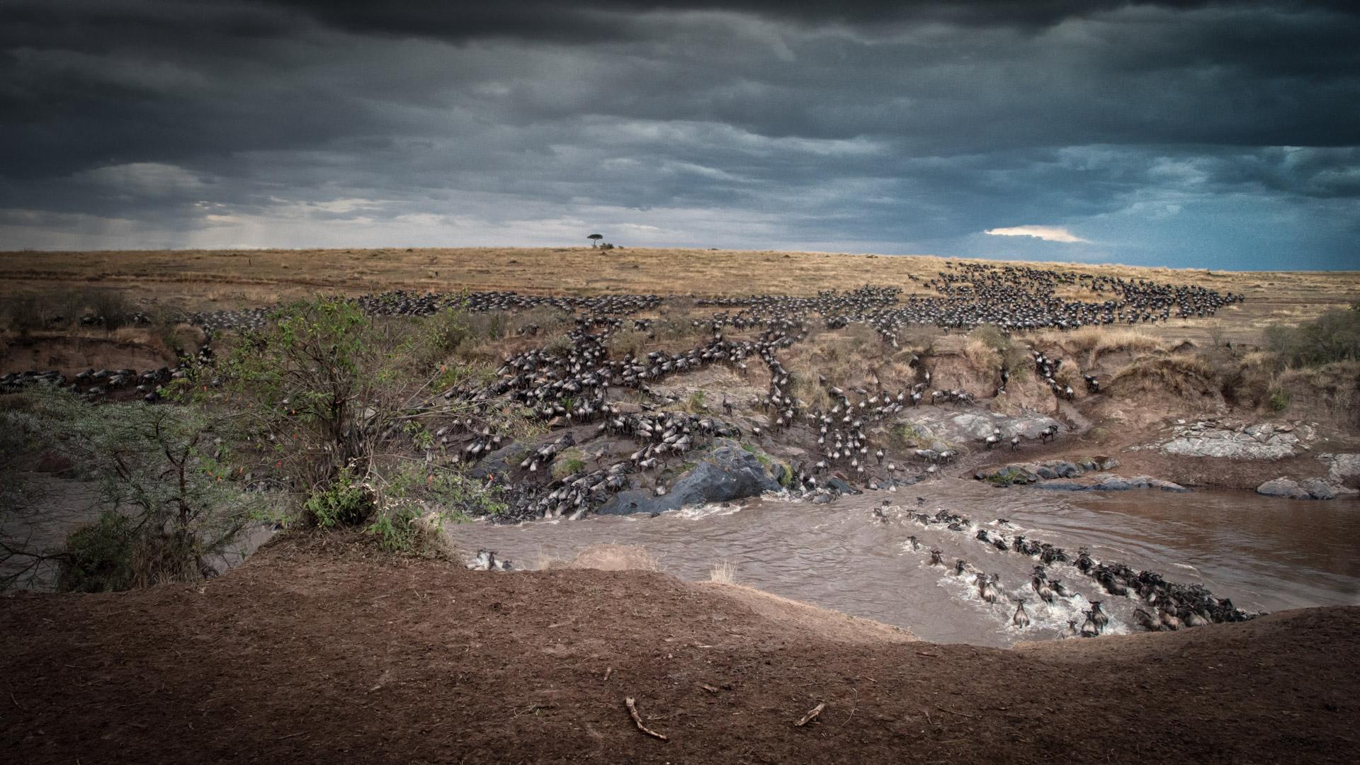 Wildebeest migration crossing river in Maasai Mara, Kenya