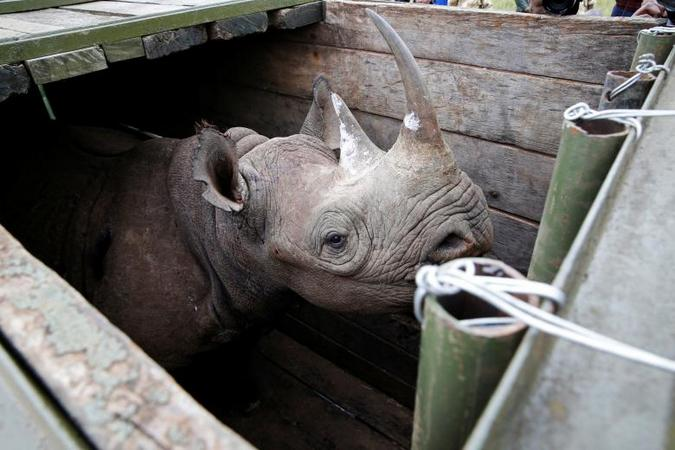 Rhino in translocation crate, Kenya