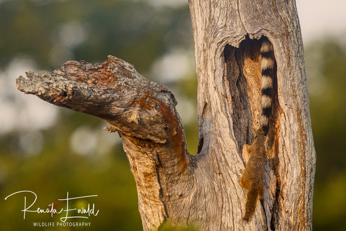 Tree squirrel looking at genet's tail in leadwood tree, Kruger National Park, South Africa