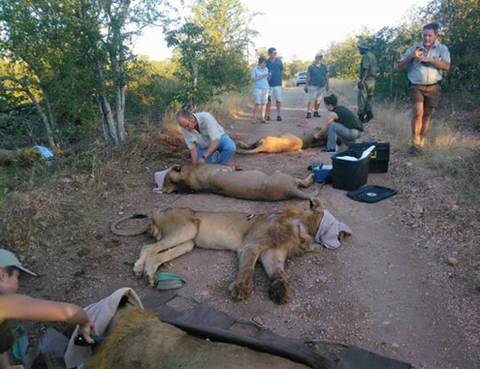 Lions tested for TB in Greater Kruger