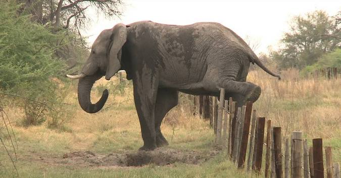 Elephant stepping over fence, Botswana