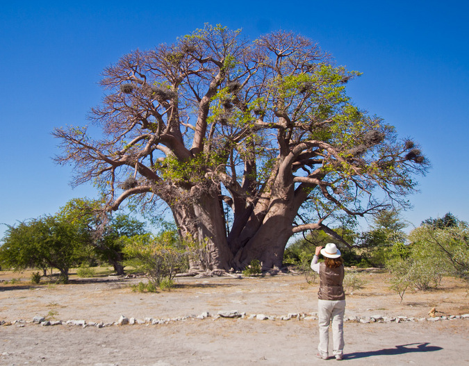Chapman's baobab, before it fell in 2016 © Christian Boix