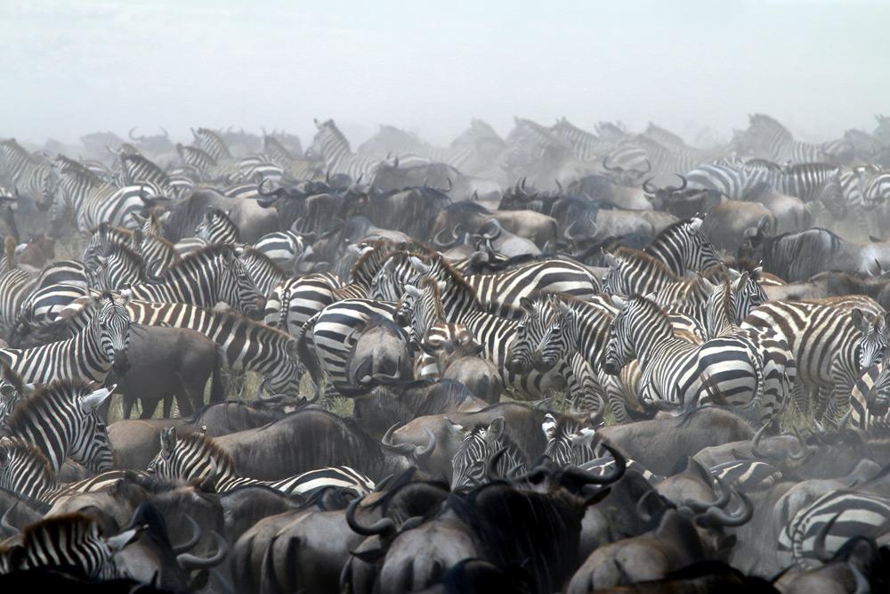 Zebra and wildebeest in Serengeti National Park, Tanzania