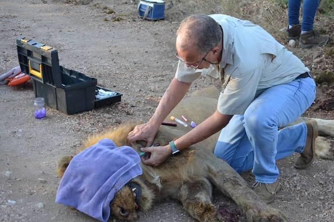 Lion darted, TB testing