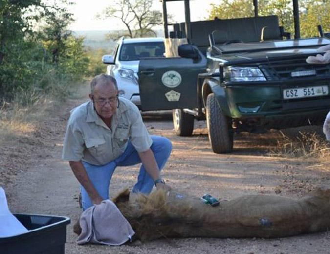 Darted lion