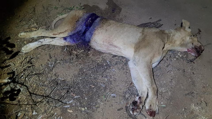 Snared lioness with wound