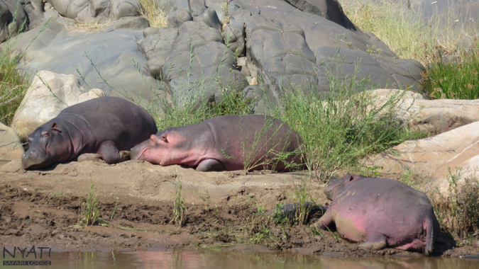 Hippos sunbathing by river