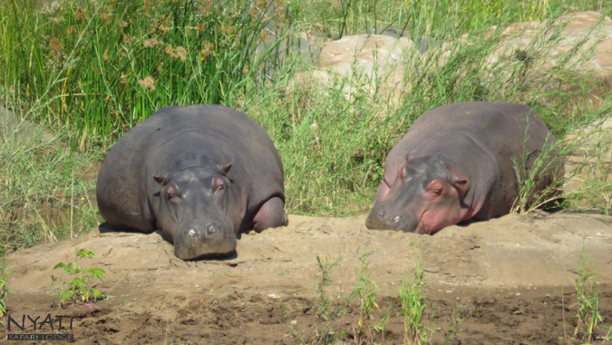 Two hippos sunbathing by river