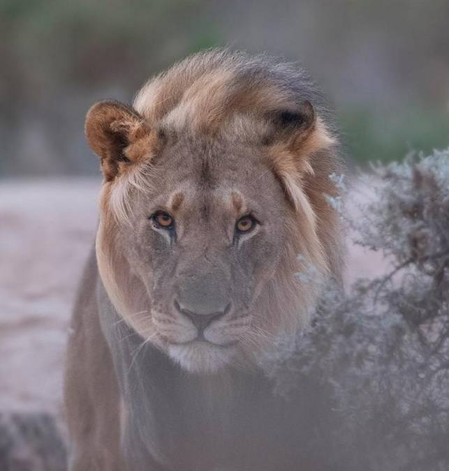 Desert adapted lion, Namibia
