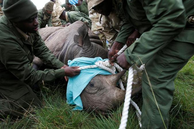 Black rhino being tranquilised