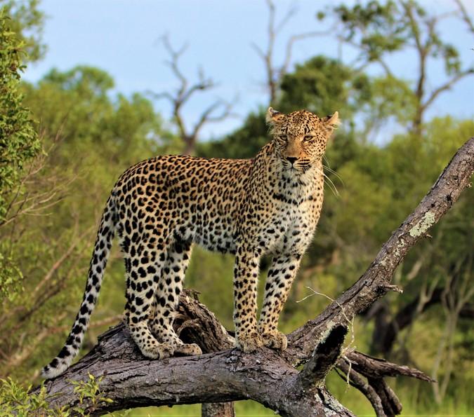 Leopard standing on fallen tree in the wild