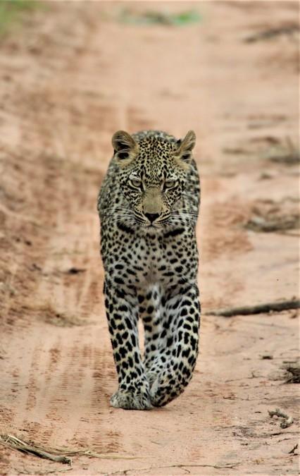Leopard walking down dirt road in the wild
