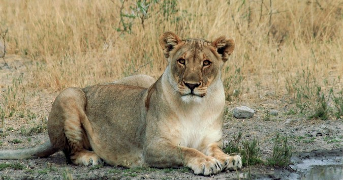 Female lion in Namibia, human-lion conflict