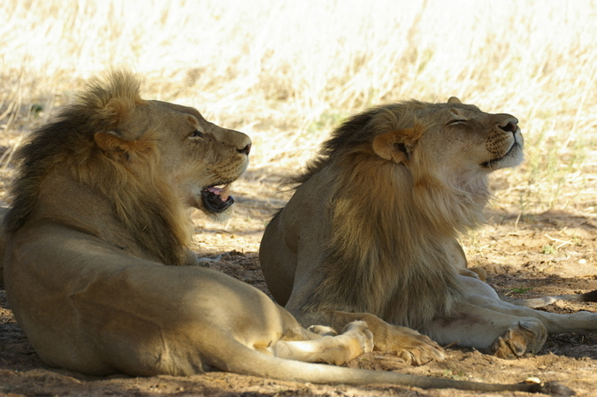 two lions lying in the shade