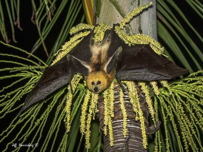 Mauritian fruit bat on a palm tree, Mauritius
