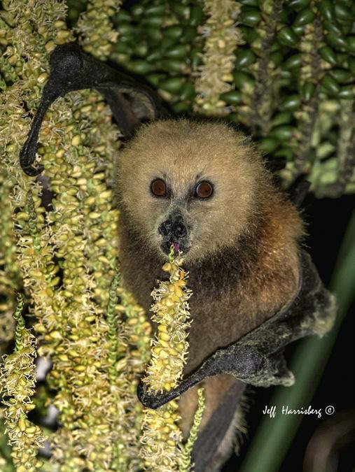 Mauritian fruit bat eating palm fruit, Mauritius