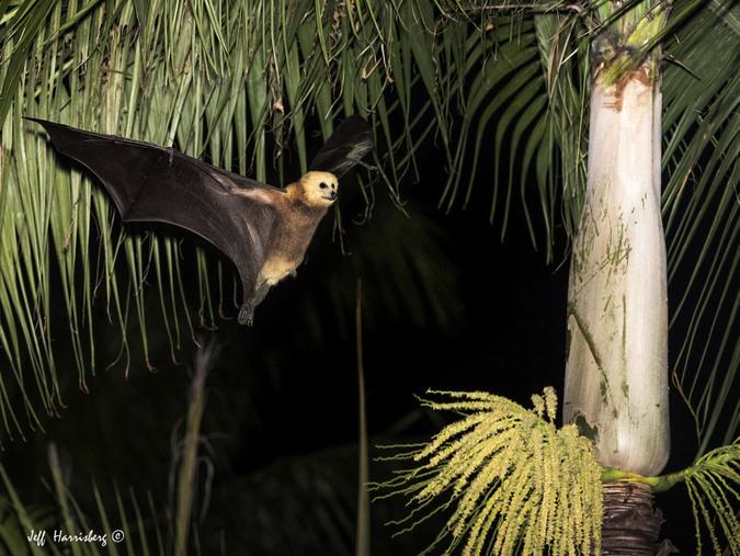 Mauritian fruit bat flying to palm tree, Mauritius