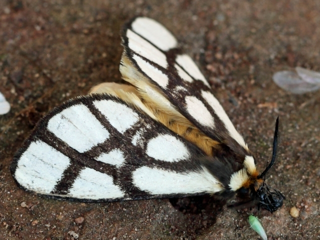 Reticulate bagnest moth, African wildlife, insects