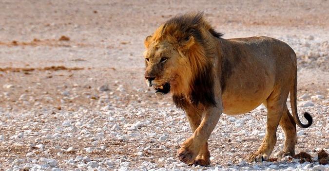 Lion in Etosha National Park, Nambia