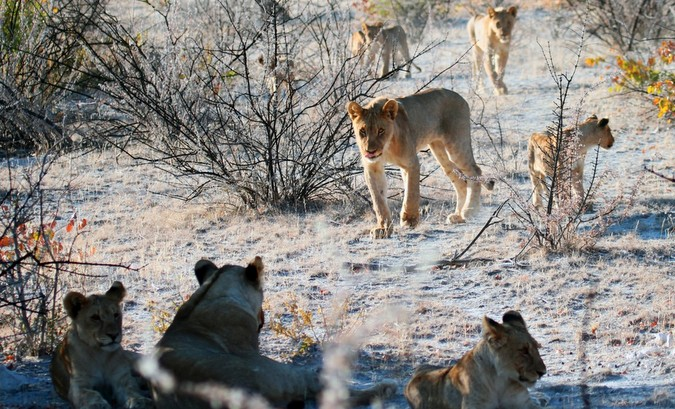 lion pride in Namibia, human-lion conflict