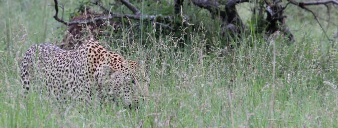Leopard stalking in tall grass