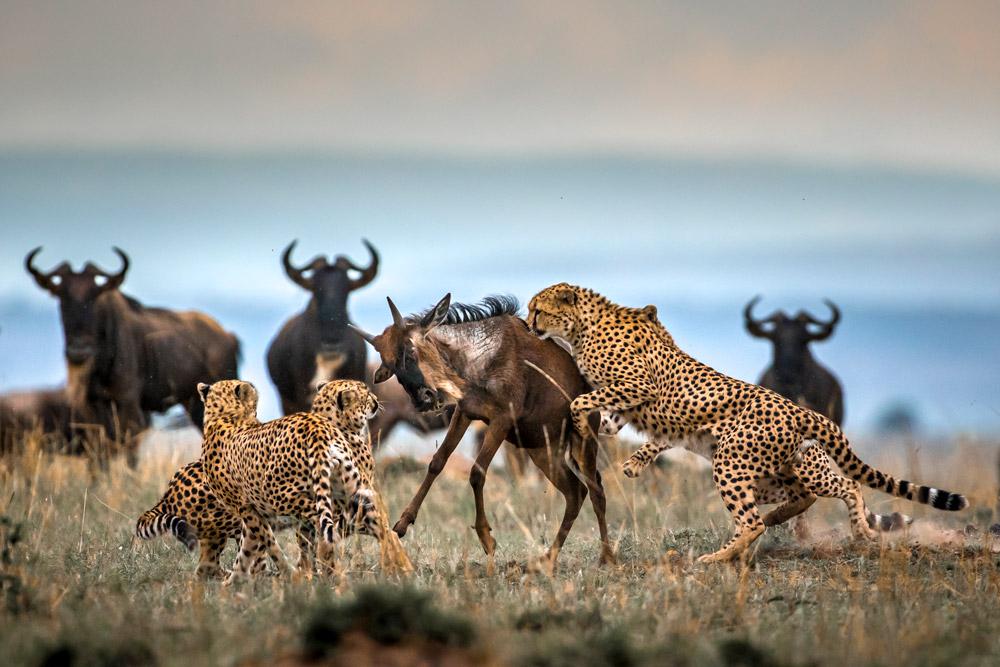 Cheetahs take down wildebeest in Maasai Mara, Kenya
