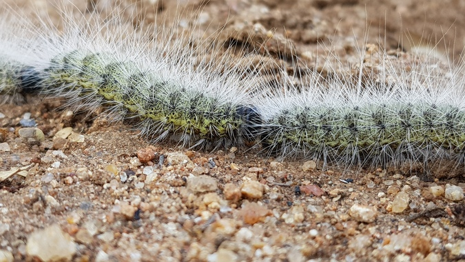 Processionary caterpillar, African wildlife, insects